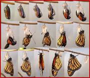 Monarch Emergence Sequence