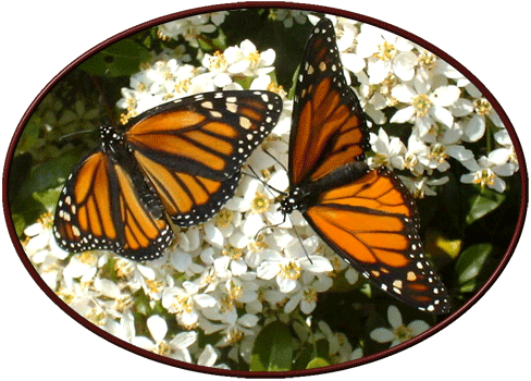 bb_butterfly_monarchs_png8